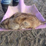 Giant rat found in Kent