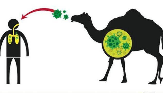 MERS-CoV冠状病毒是从骆驼传播到人的.jpg