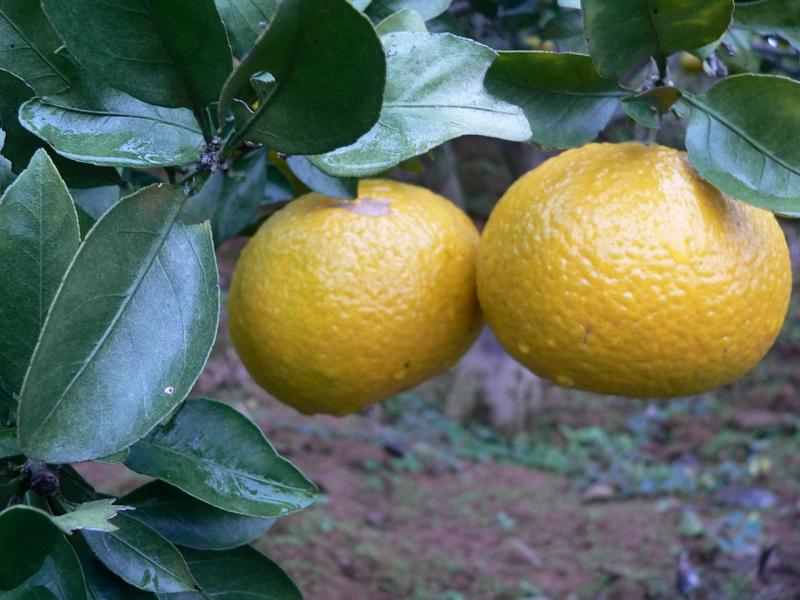 建阳桔柚2