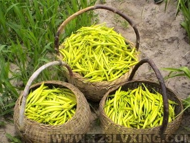 淮阳黄花菜(3)