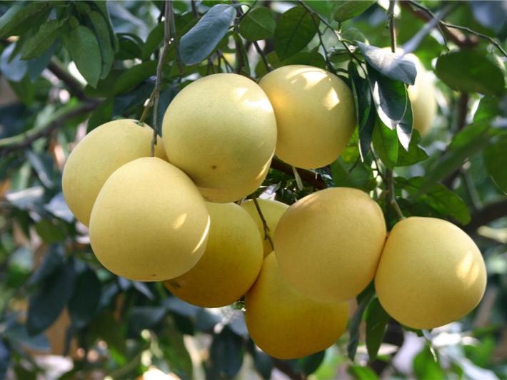 琯溪蜜柚2