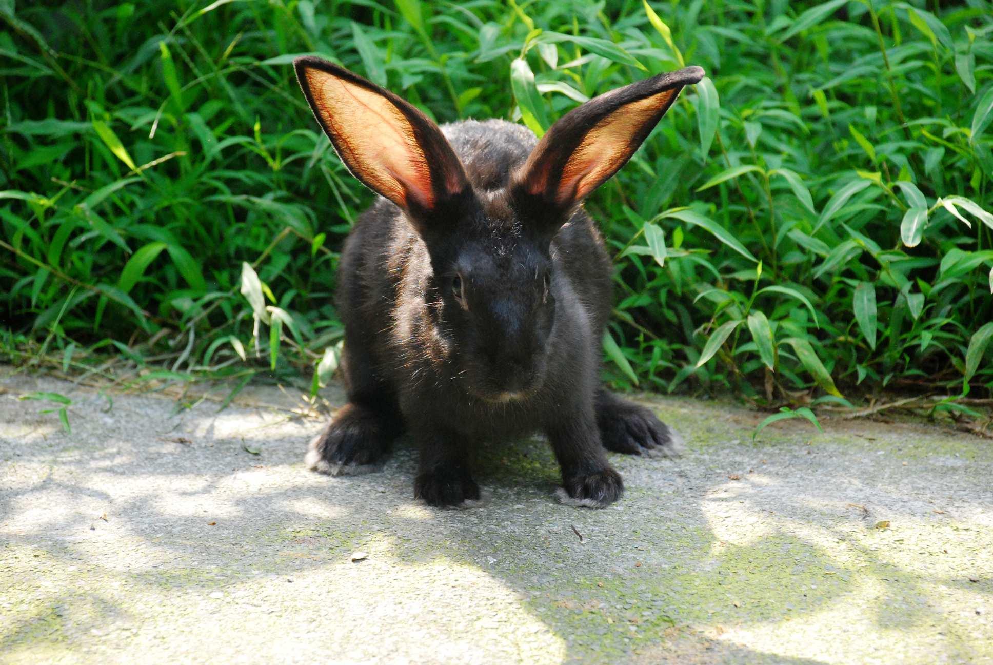 大田肉兔3
