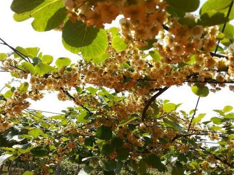 赤壁猕猴桃1