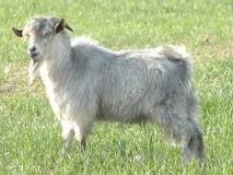 槐山羊肉(1)