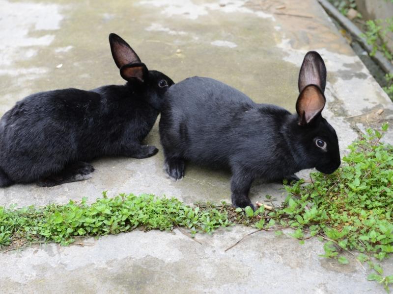 大田肉兔2
