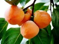 仰韶柿饼(2)