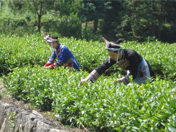 惠明茶 畲女采茶