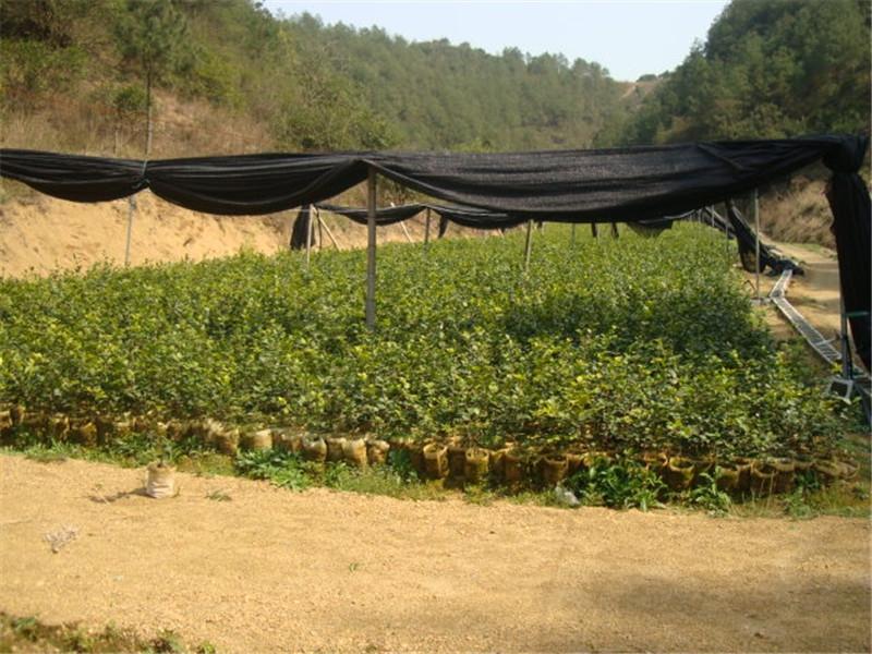 常山山茶油 苗圃