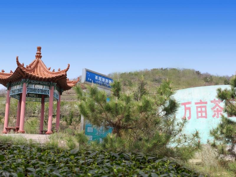 诸城绿茶3