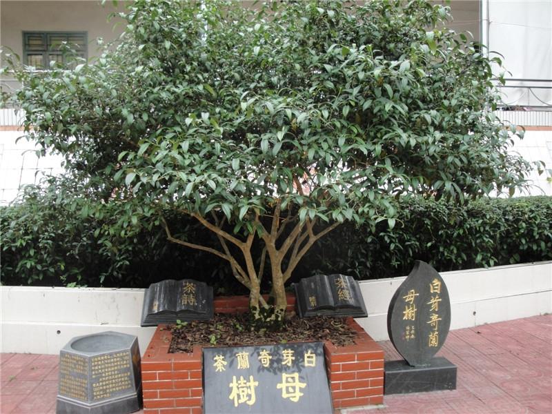 白芽奇兰母树