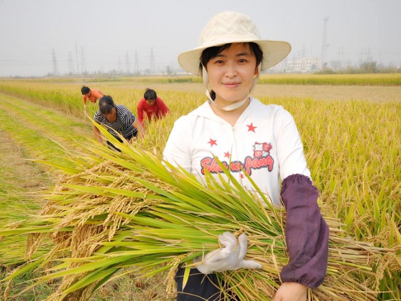 鱼台大米 丰收