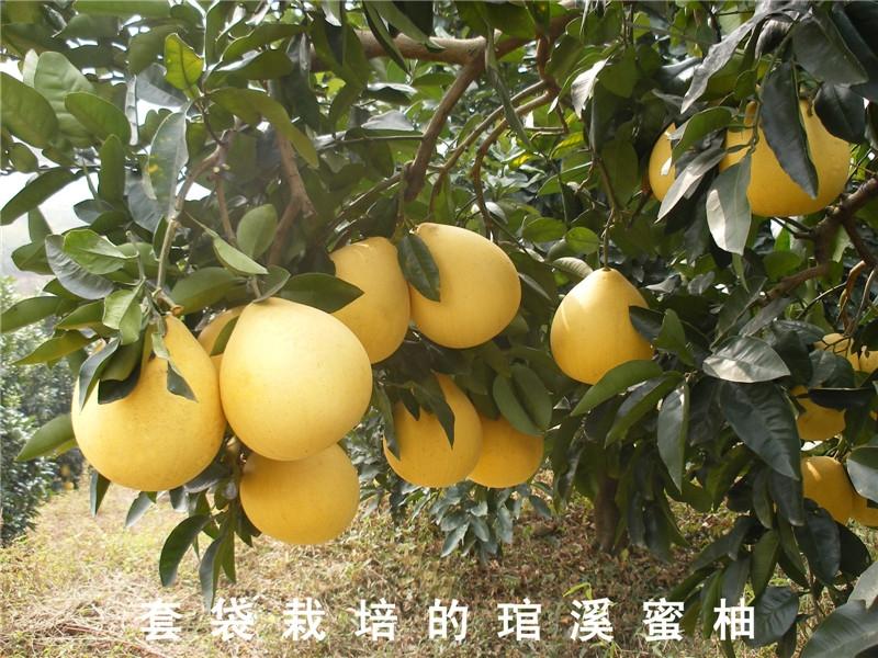 琯溪蜜柚1