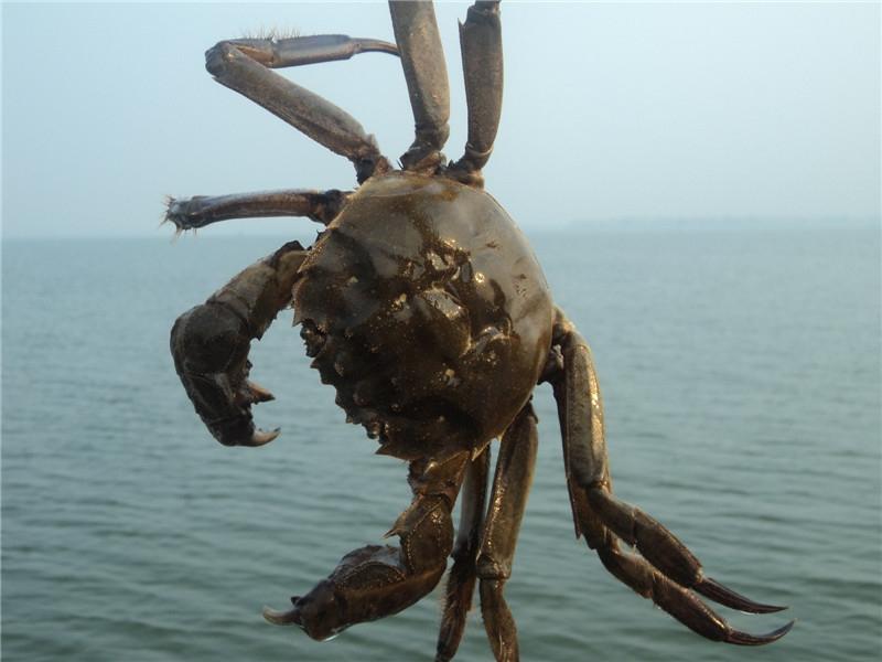 茅山螃蟹(茅蟹)2