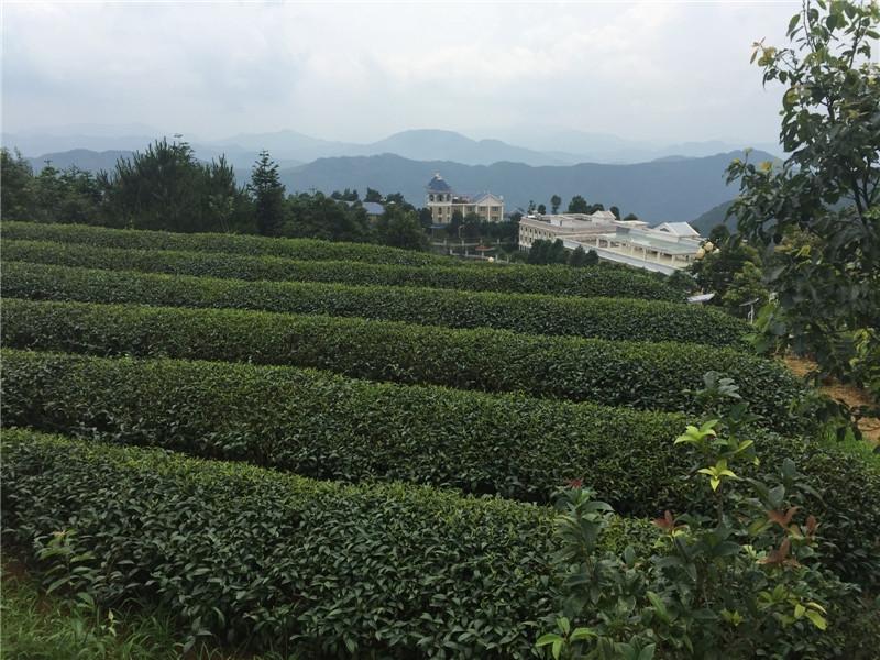 白芽奇兰茶3