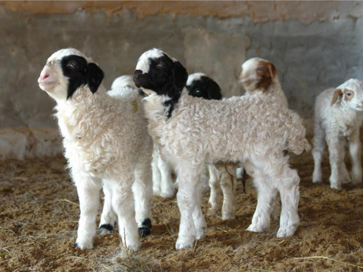 苏尼特羊肉1