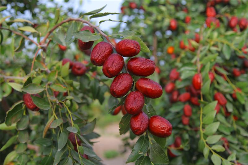 阿克苏红枣2