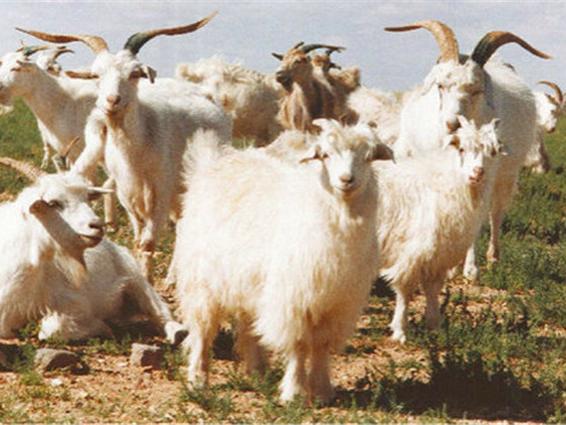 内蒙古山羊绒、羊绒纱及羊绒系列产品(鹿王牌)2