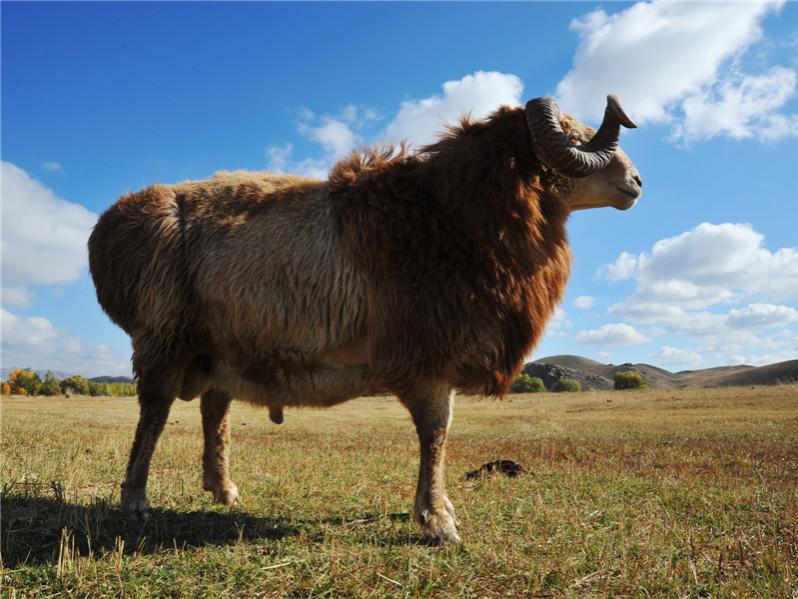 阿勒泰羊1