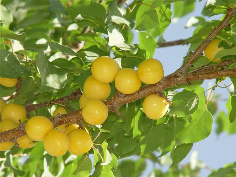 轮台白杏2