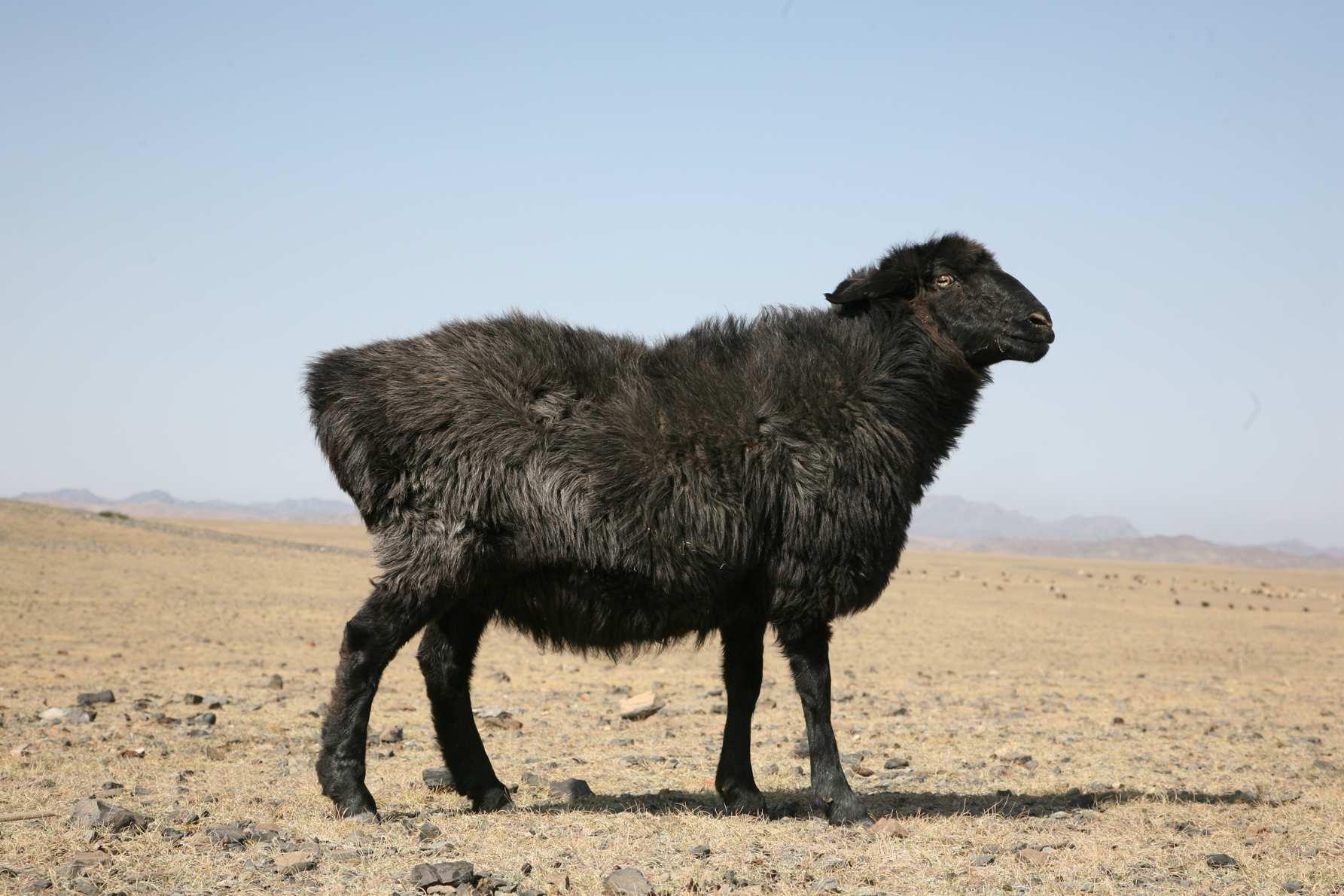 吐鲁番黑羊