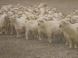 日土山羊绒