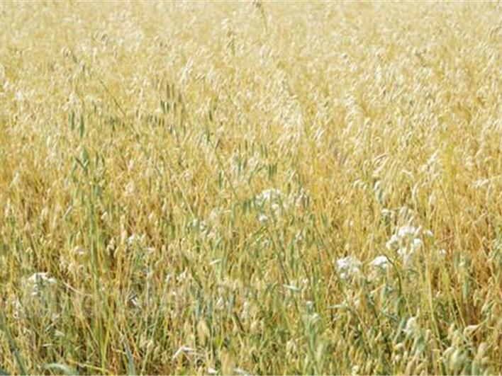 固阳燕麦1