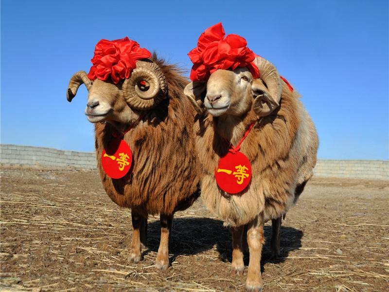 阿勒泰羊2