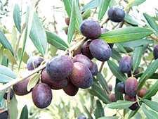 武都油橄榄