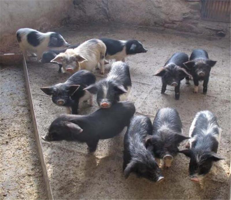 乐都藏香猪1
