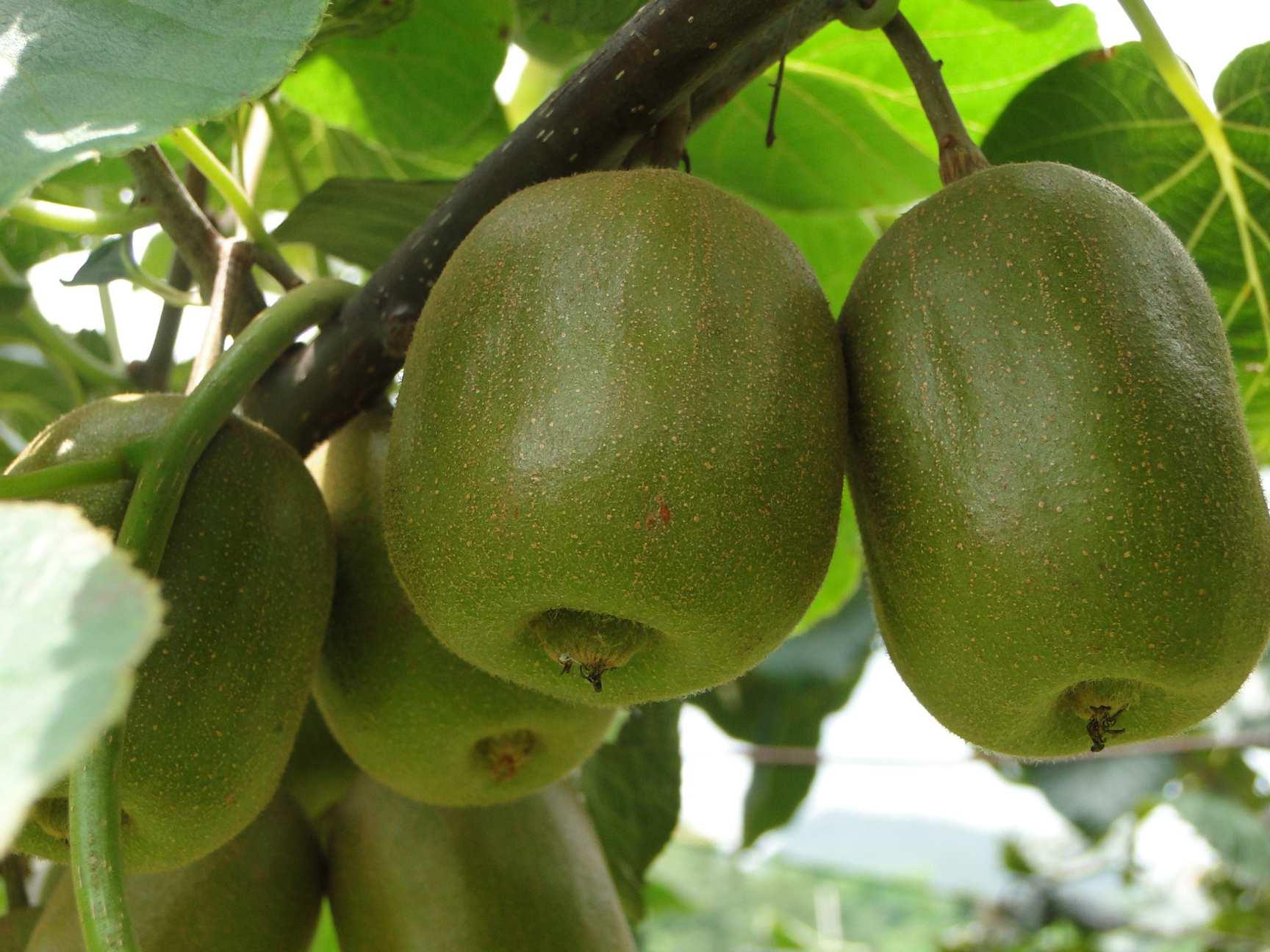 水城猕猴桃