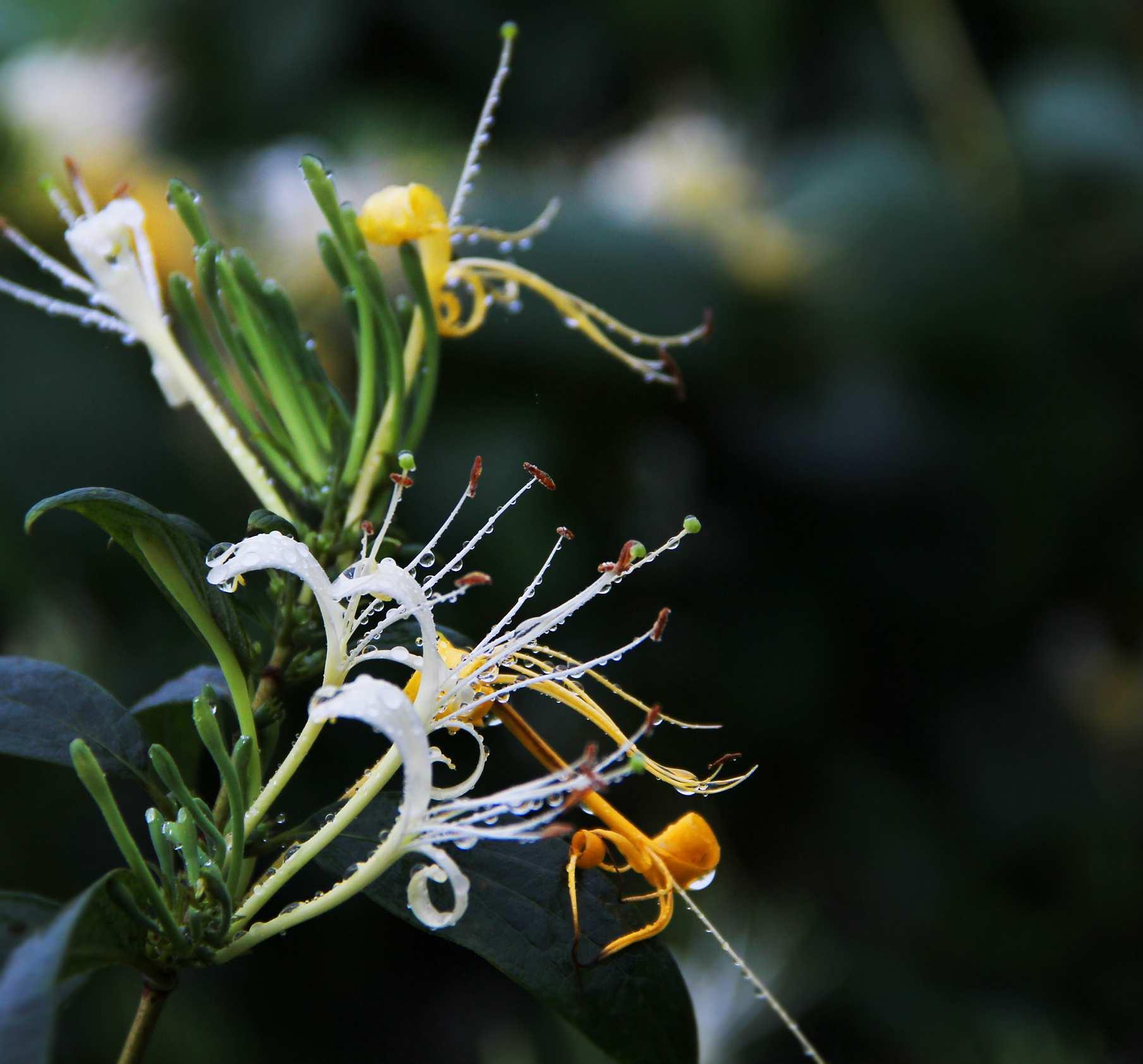 绥阳金银花