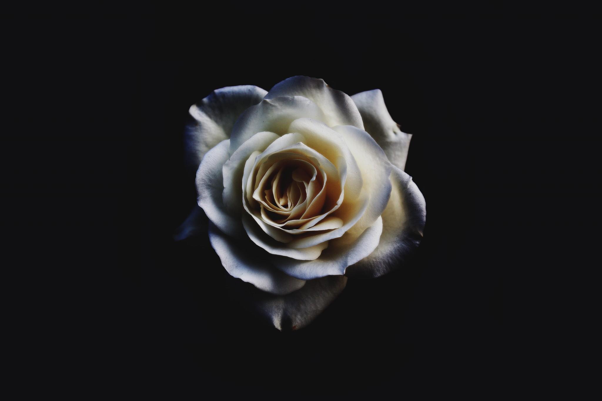 白色花朵,花瓣,5K壁纸_千叶网