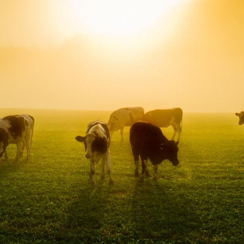 cows_in_the_sun