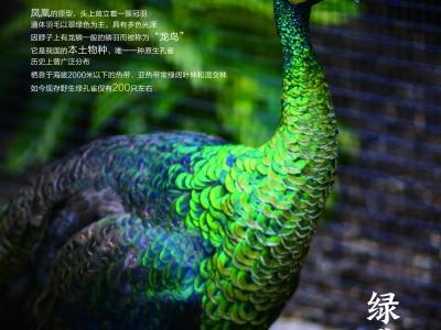 01绿孔雀