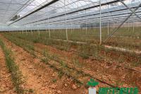 腊梅种苗纸钵扦插繁育-1