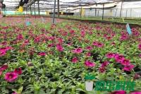 花卉扦插育苗、舞春花种苗、一品红种苗、大丽花种苗、扦插技术