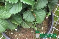 草莓种苗扦插育苗