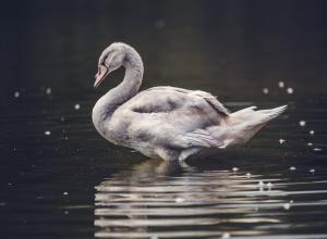 ugly swan 丑天鹅