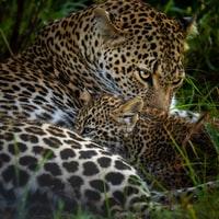 leopard lying on green grass during daytime 白天躺在青草上的豹