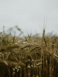 brown wheat field during daytime 白天褐麦田
