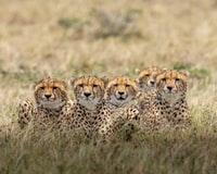 brown and black cheetah on brown grass field during daytime 白天棕色草地上的棕色和黑色猎豹