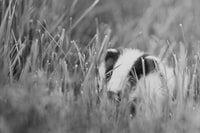 grayscale photo of a dog on grass field 一只狗在草地上的灰度照片