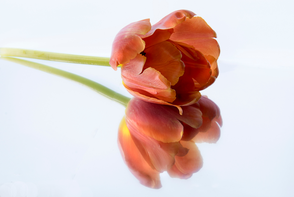 flower tulip isolated plant spring nature background white floral petal pink blossom minimal copy space orange reflection beauty fresh